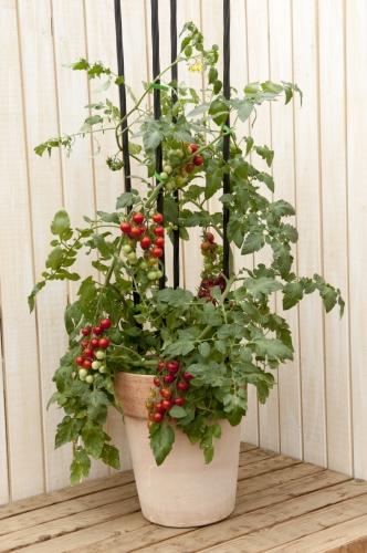 ミニトマト【鉢植え】写真