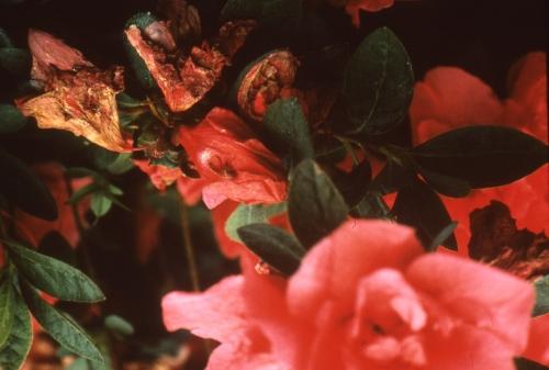 花腐菌核病写真