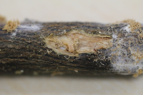 カミキリムシ(幼虫)写真