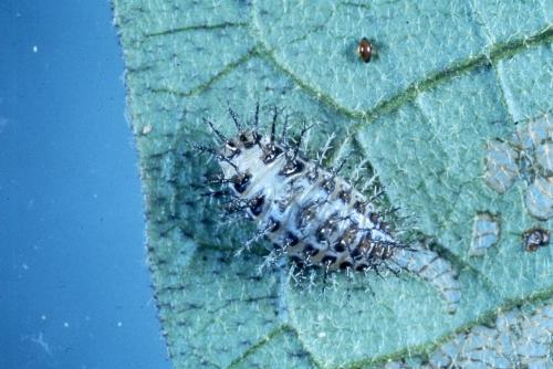 テントウムシダマシ(幼虫)写真