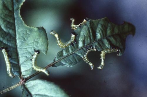 ハバチ写真