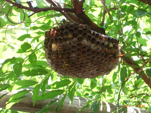 アシナガバチ写真
