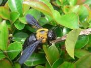 クマバチ写真