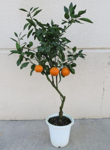 温州ミカン【鉢植え】写真