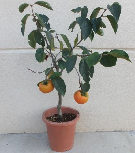 かき【鉢植え】写真