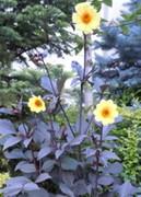 ガーデンダリア写真