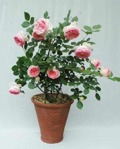 つるバラ(鉢植え)写真