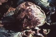 菌核病写真