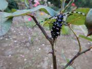 カミキリムシ(成虫)写真