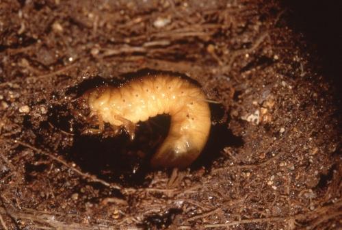 コガネムシ(幼虫)写真