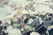 オナモミ写真