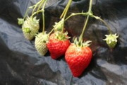 イチゴ【地植え】写真