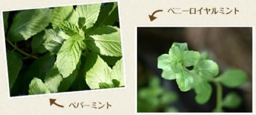 ミント【地植え】写真