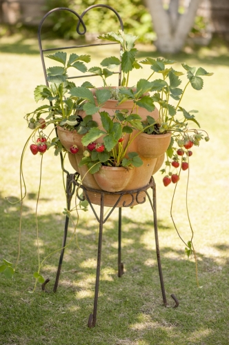 イチゴ【鉢植え】写真