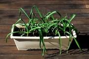 にんにく【鉢植え】写真