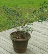 ブルーベリー【鉢植え】写真