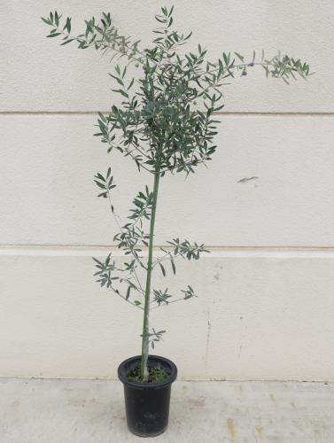 オリーブ【鉢植え】写真