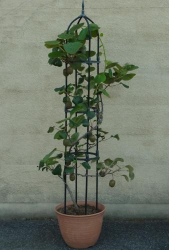 キウイフルーツ【鉢植え】写真
