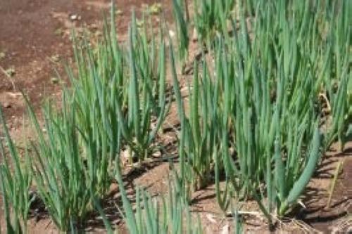 葉ネギ【地植え】写真